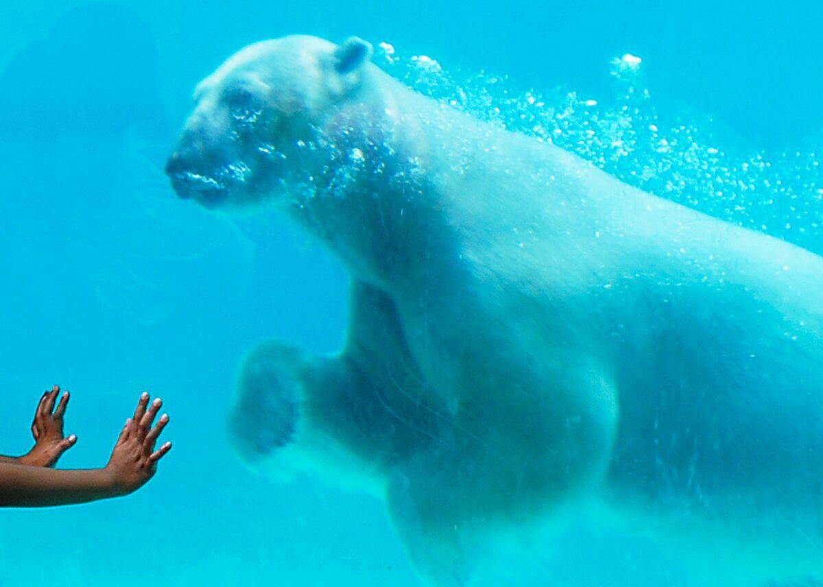 Lincoln Park Zoo Polar Bear