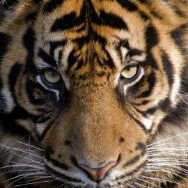 Amur Tiger Zen Puzzle