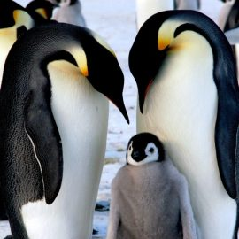 Emperor Penguins Wooden Jigsaw Puzzle