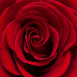 Red Rose Zen Puzzle