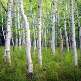 Acadia Birch Zen Puzzle
