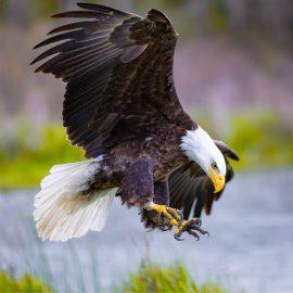 Bald Eagle Zen Puzzle