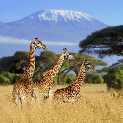Giraffe Safari Zen Puzzle