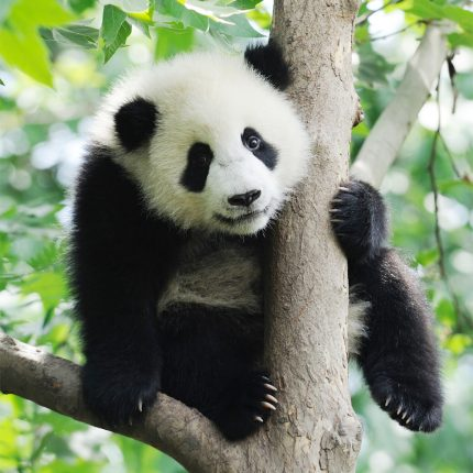 Panda Zen Puzzle