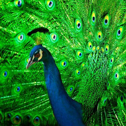 Peacock Zen Puzzle
