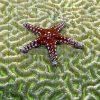 Small Starfish on Brain Coral Zen Puzzle
