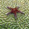 Starfish on Brain Coral Teaser Zen Puzzle
