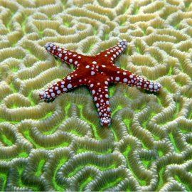 Starfish on Brain Coral Zen Puzzle