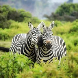 Zebras Wooden Jigsaw Puzzle